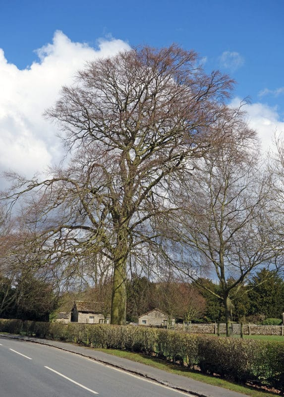 beech-tree
