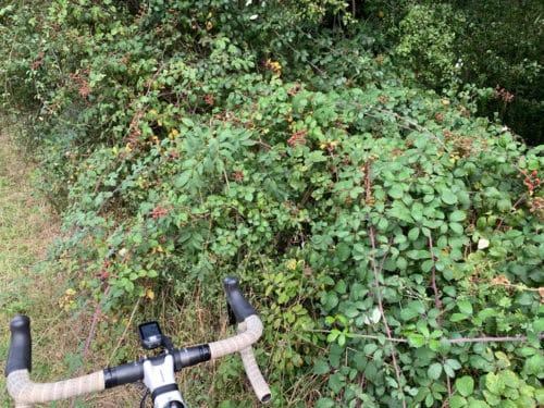 free-food-blackberries-bike